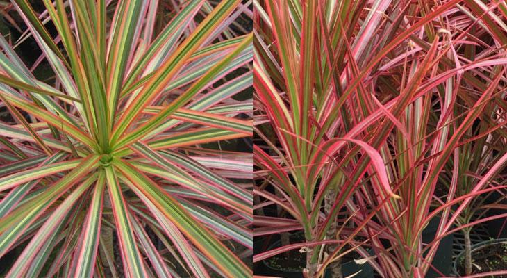 Dracaena Marginata Tricolor vs. Colorama Varieties