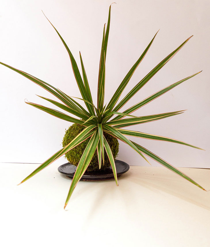 Madagascar dragon tree dracaena marginata care guide for Dracaena marginata