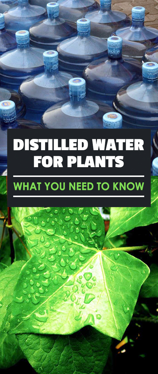 Water is water, right? Wrong. Here are some things to know about using distilled water for plants.