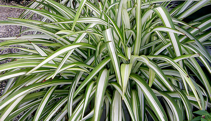 Spider Plant Indoor Plant