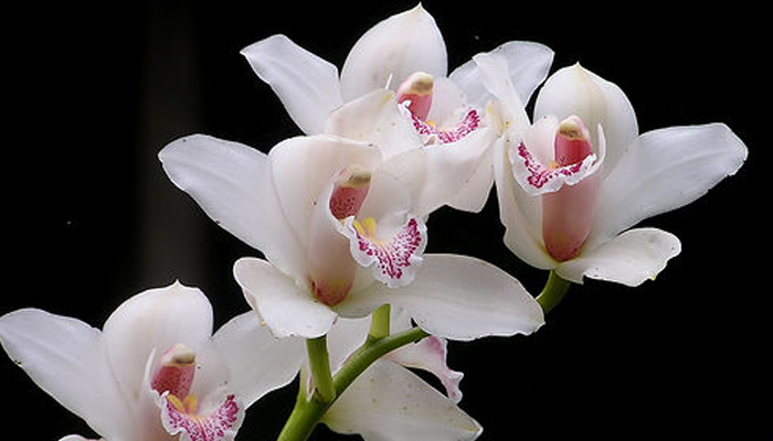 White Orchids Indoor Plant