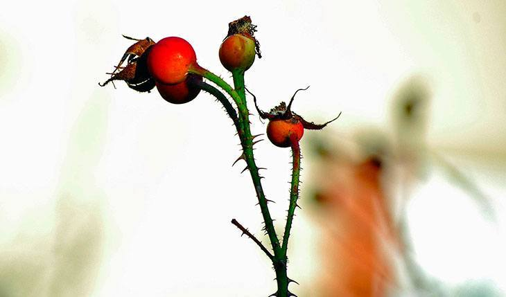 Foraging for Rose Hips