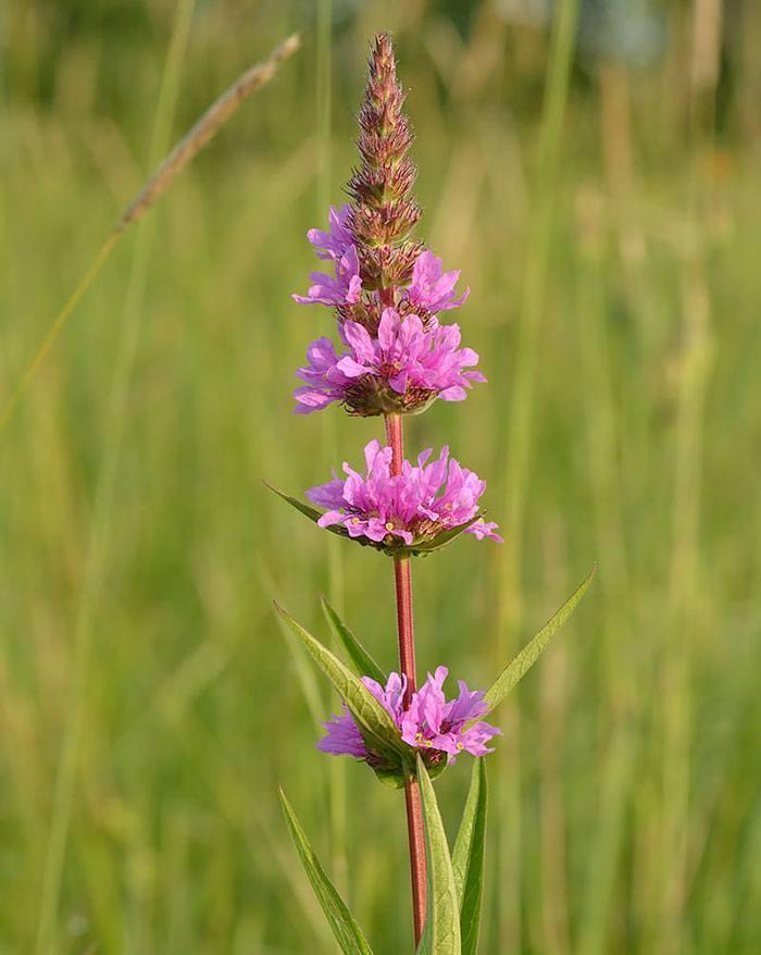 Lythrum-salicaria