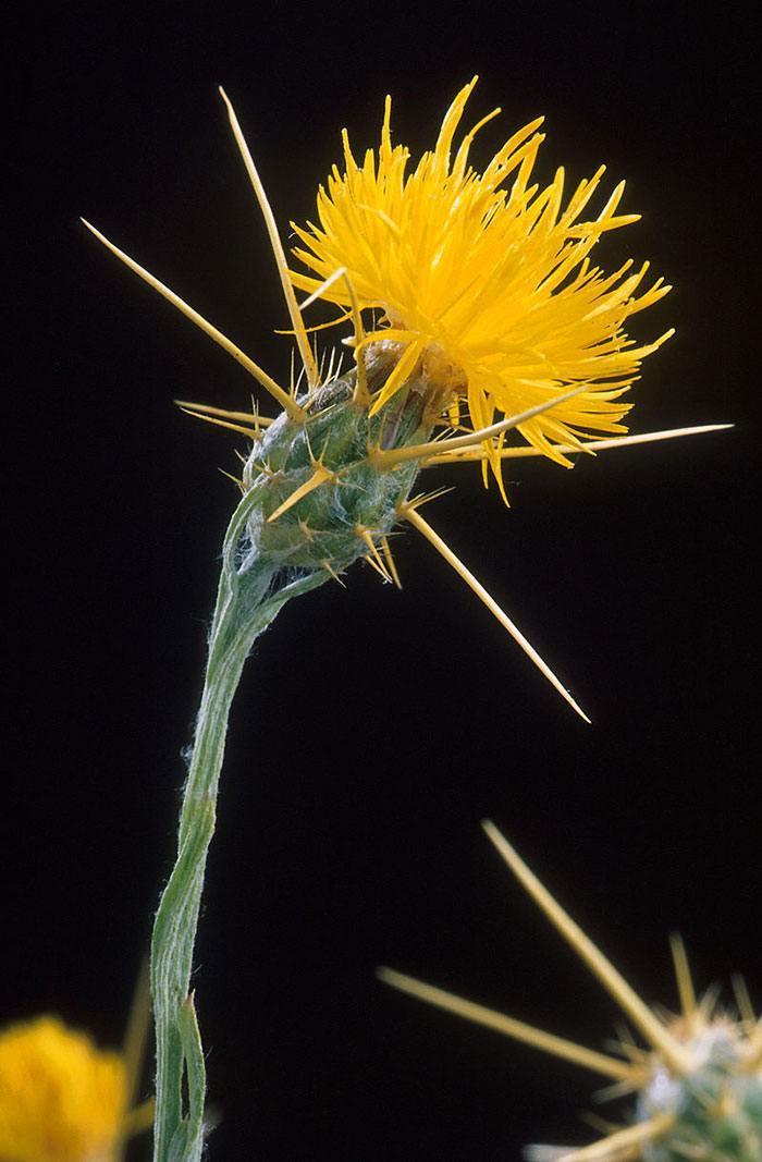 Centaurea-solstitialis