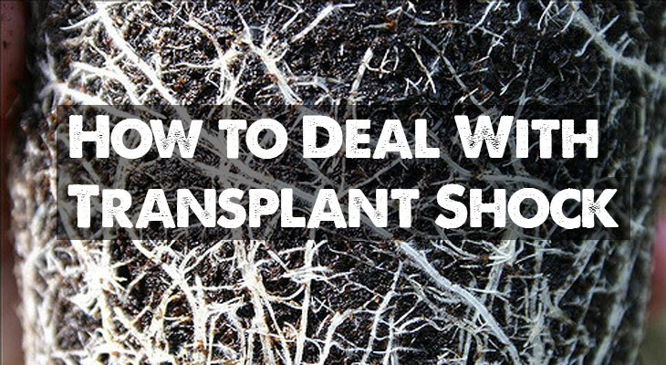 How to deal with transplant shock