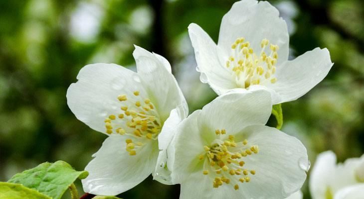 Jasmine house plant for air purification and sleep