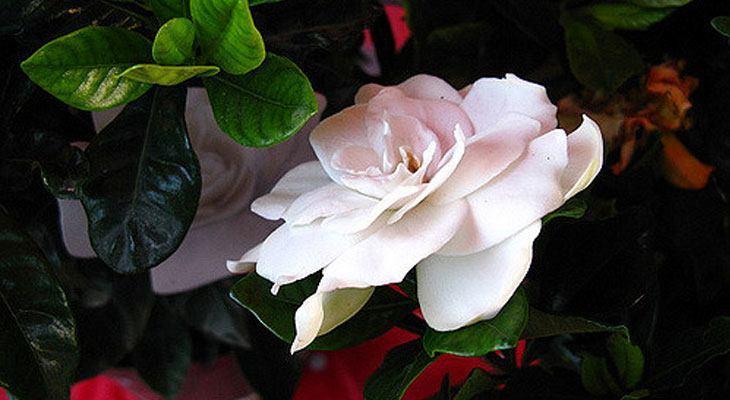 Gardenia house plant for air purification and sleep