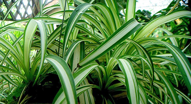Spider Plant house plant for air purification and sleep