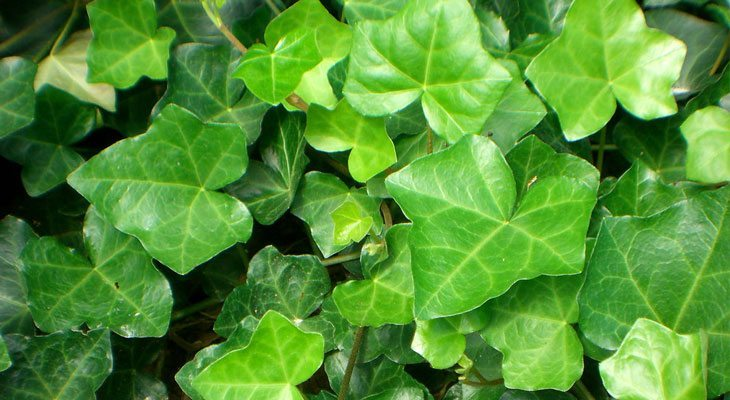 English Ivy house plant for air purification and sleep