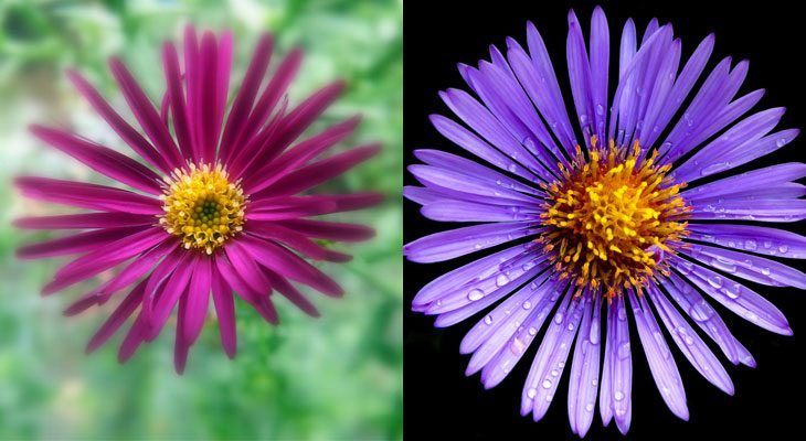 how to grow asters, Beautiful flower