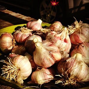 Garlic must be cleaned after curing to ensure good storage.