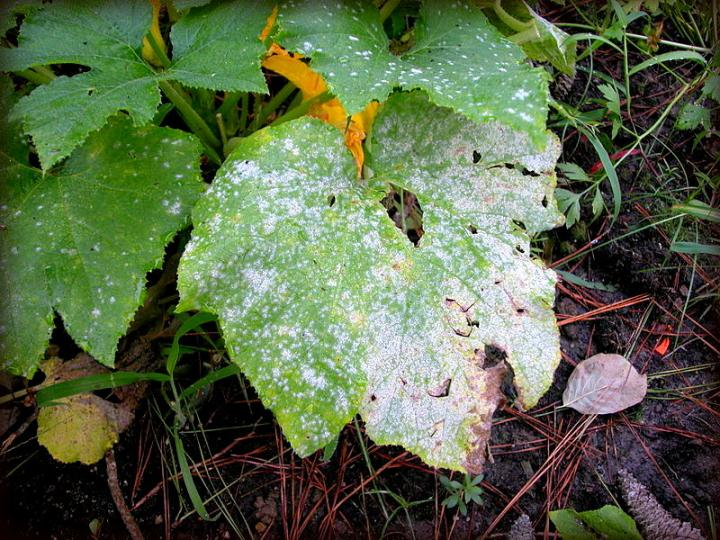 Powdery mildew completely covering this leaf. It will spread quickly to the rest of the plant if left unchecked. Photo by Pollinator