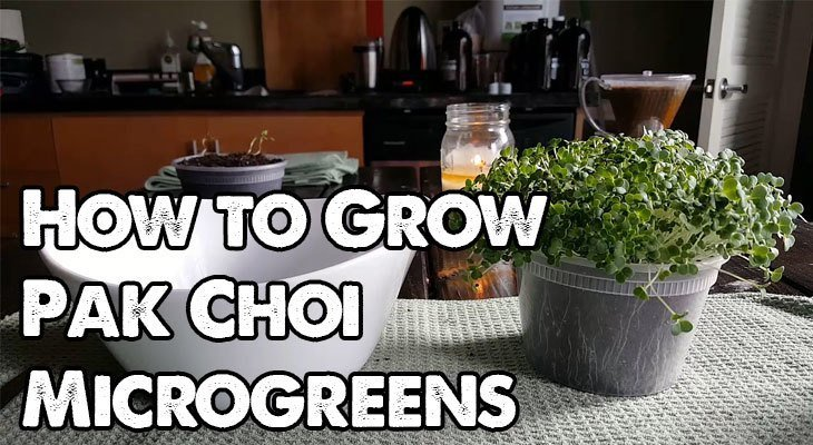How to Grow Pak Choi Microgreens Fast and Easy