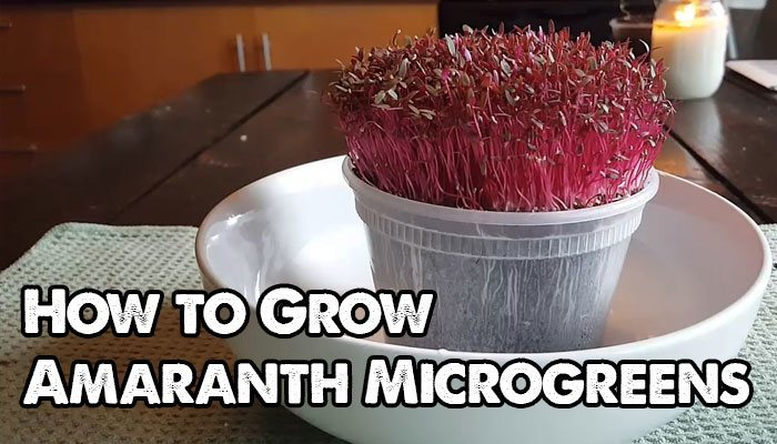 How to Grow Amaranth Microgreens Fast and Easy