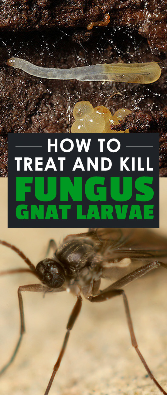 How To Treat And Kill Fungus Gnat Larvae