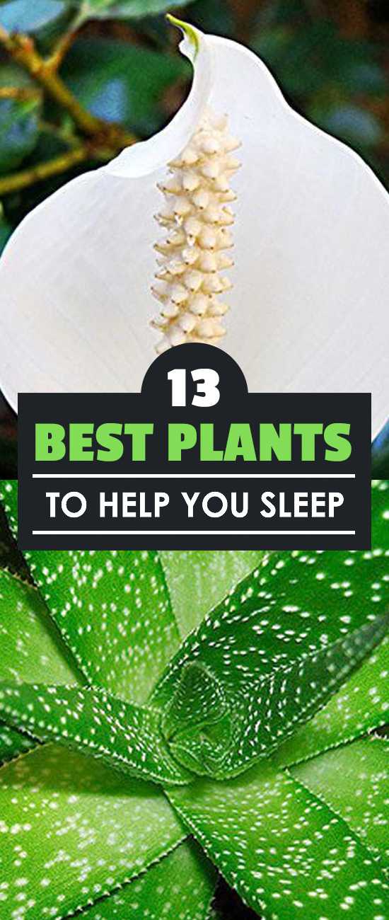 Bad sleep means low energy, bad health, and just simply dragging yourself through the day. Here are 13 plants that help you get to sleep.​
