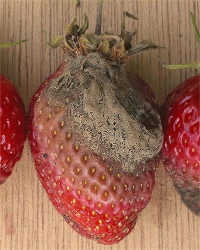 Botrytis on Strawberry