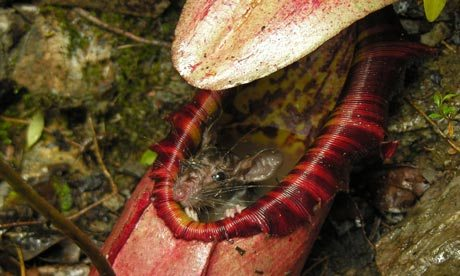Are carnivorous plants harmful to humans?