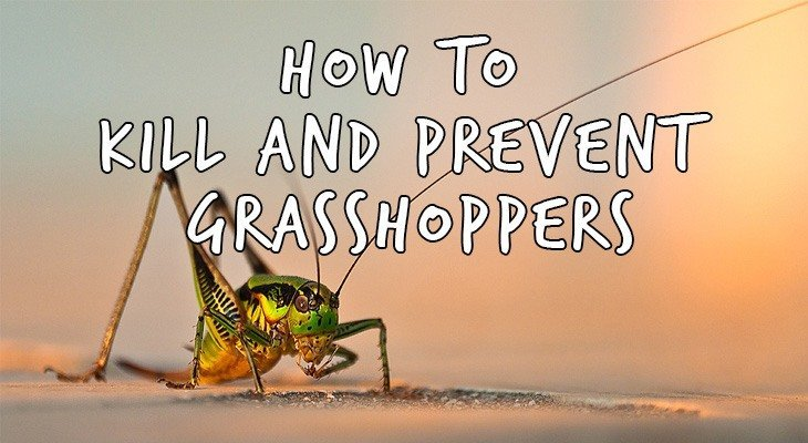 How To Get Rid Of Grasshoppers Natural Grasshopper Control