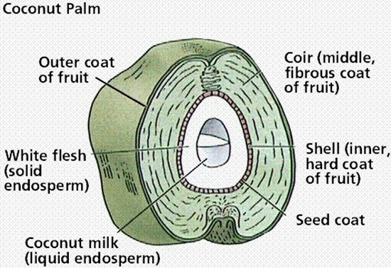 Inside of a coconut