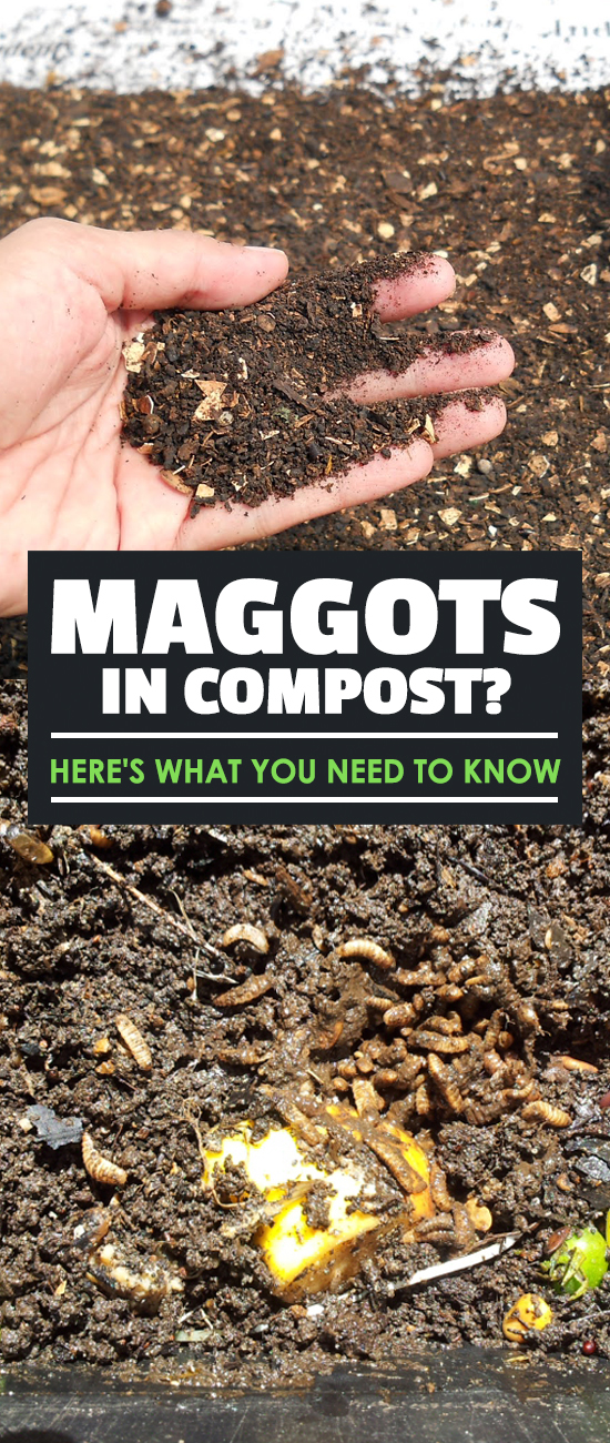 Maggots in compost can be a disgusting thing to see...but are they bad or good for your compost? Find out the answer, along with what causes them!