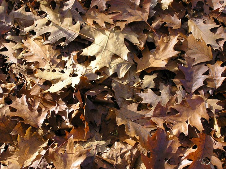Autumn leaves mulch