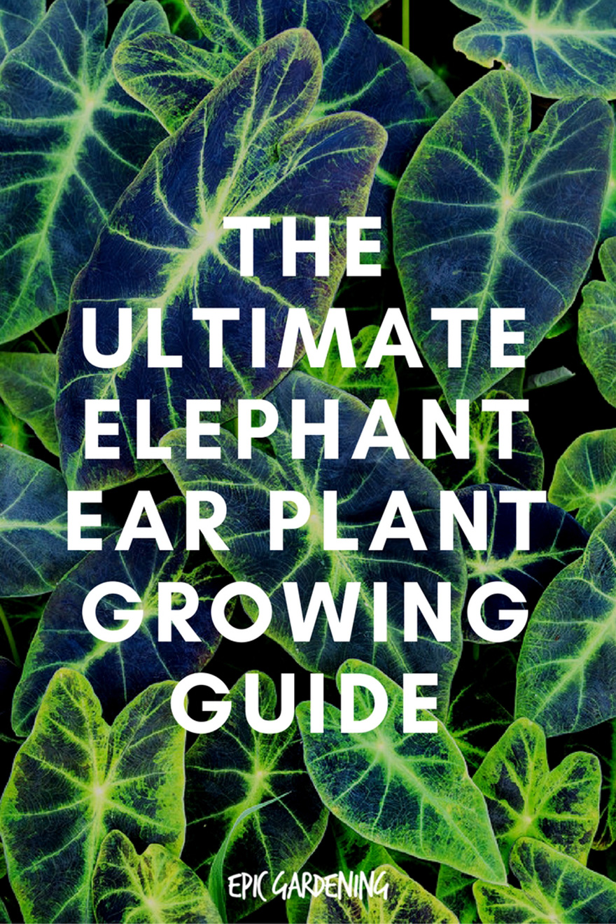 elephant ear plant care types and tips. Black Bedroom Furniture Sets. Home Design Ideas
