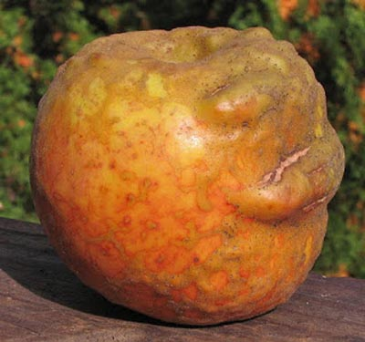 73 Heirloom Apples You Ve Probably Never Heard Of