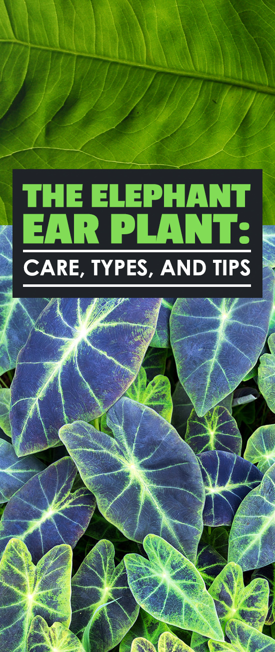 elephant ear plant care planting and growing tips. Black Bedroom Furniture Sets. Home Design Ideas