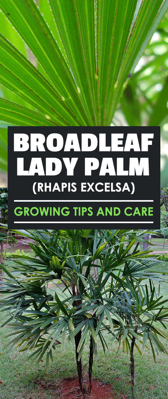 Broadleaf lady palm trees are hardy, air-purifying indoor plants that are easy to grow in the average home. Learn exactly how to care for them in this guide.