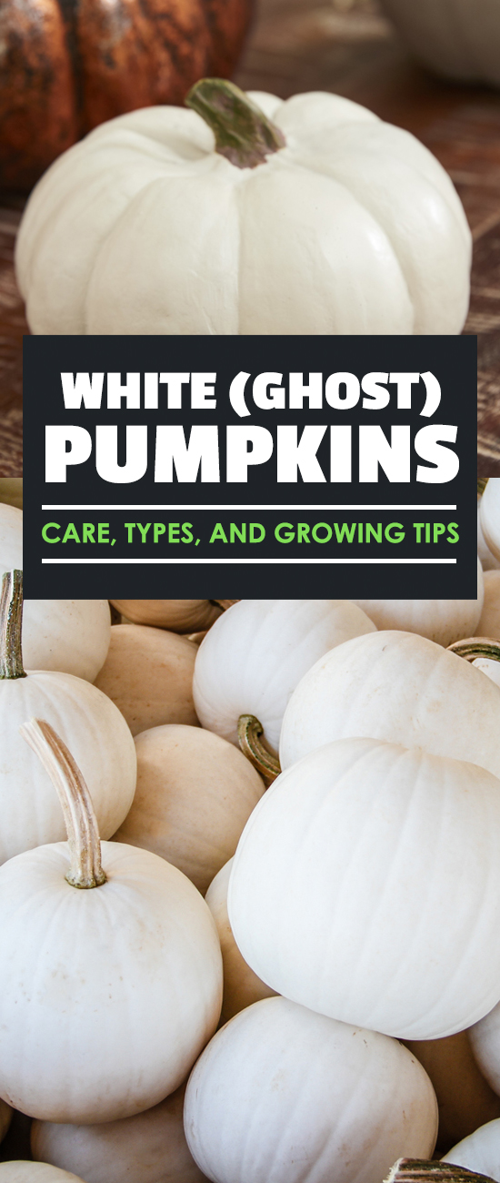 White pumpkins add a splash of brightness to your pumpkin patch and are just as easy to grow as normal pumpkins! Read on for a complete gardener's how to.