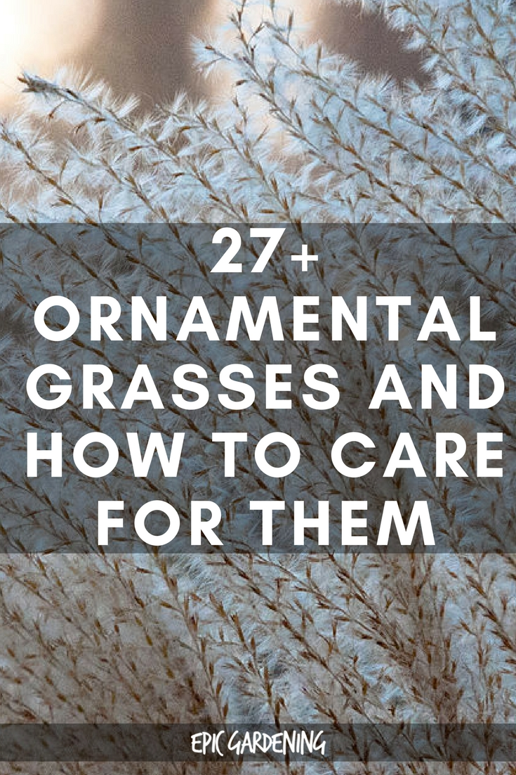 27+ Ornamental Grasses and How to Care For Them