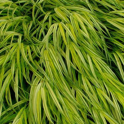 Japanese Forest Grass