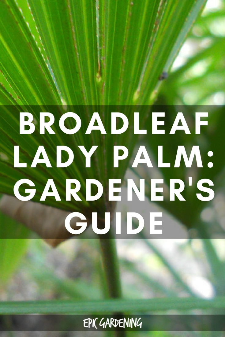 Broadleaf Lady Palm Tree (Rhapis Excelsa)