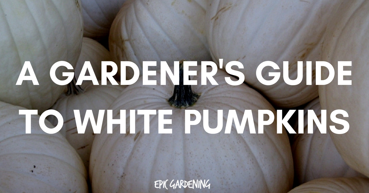 White (Ghost) Pumpkins: Care, Types, and Growing Tips