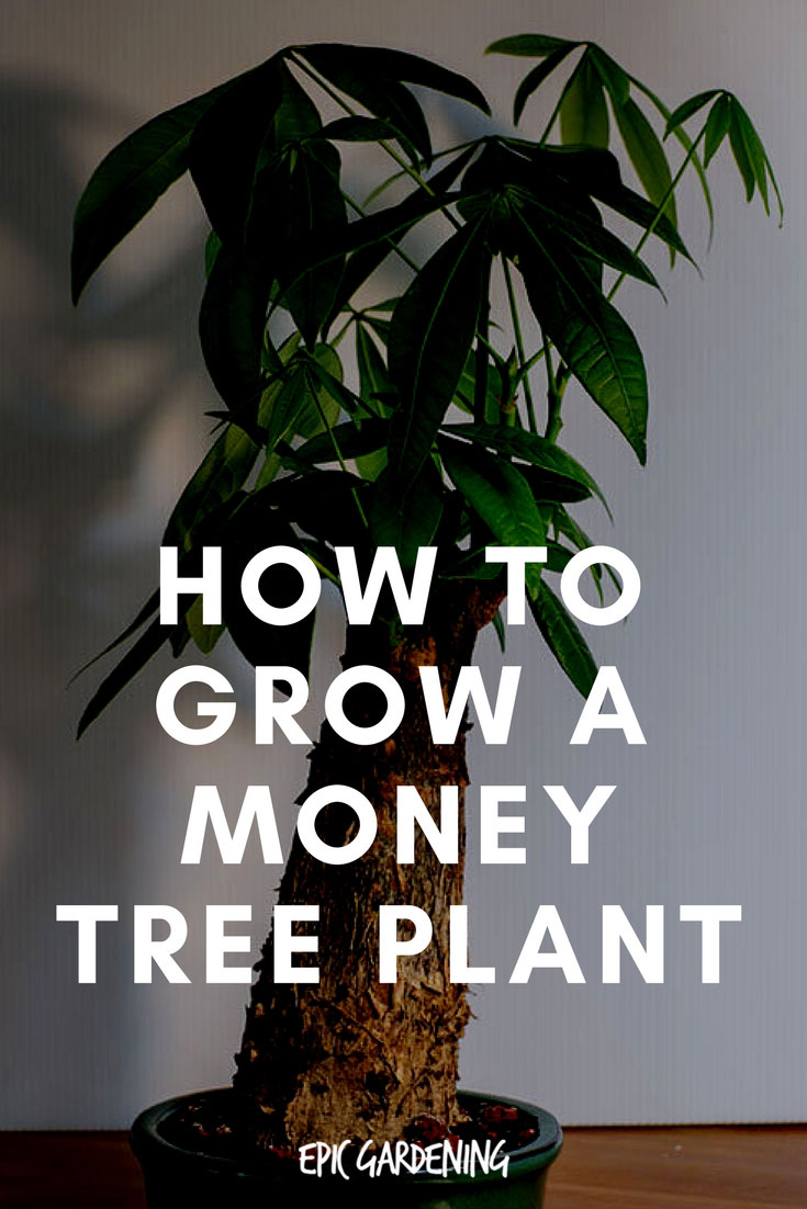 Money Tree Plant (Pachira Aquatica) Care and Growing Tips