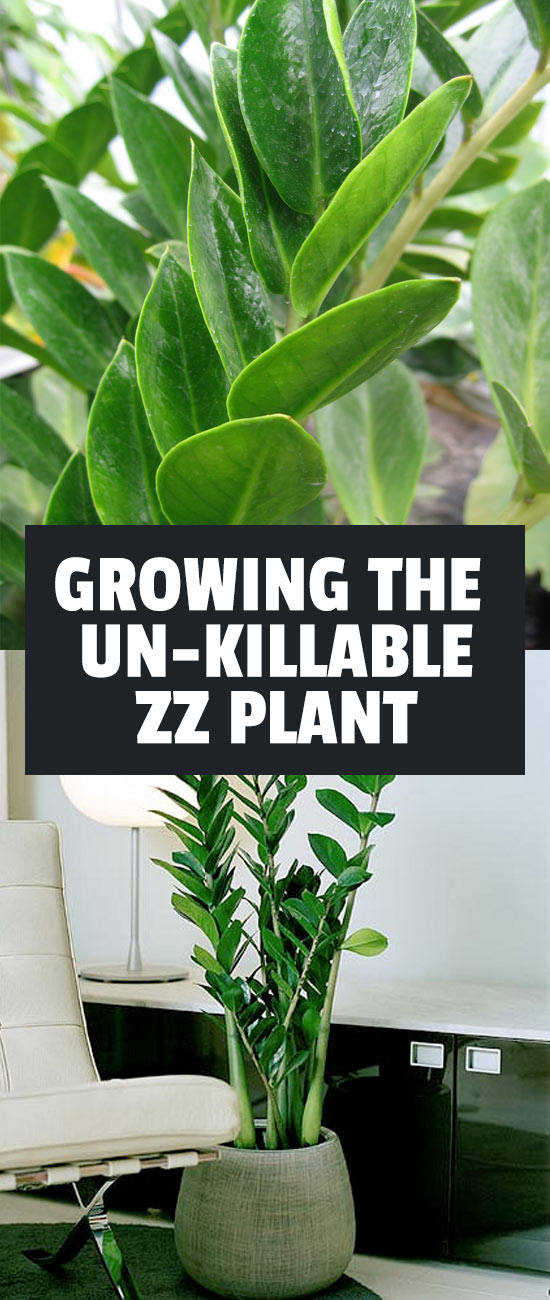 The ZZ plant is the answer to your brown thumb...it's one of the easiest houseplants on the planet to grow. Find out exactly how to care for it in this guide.