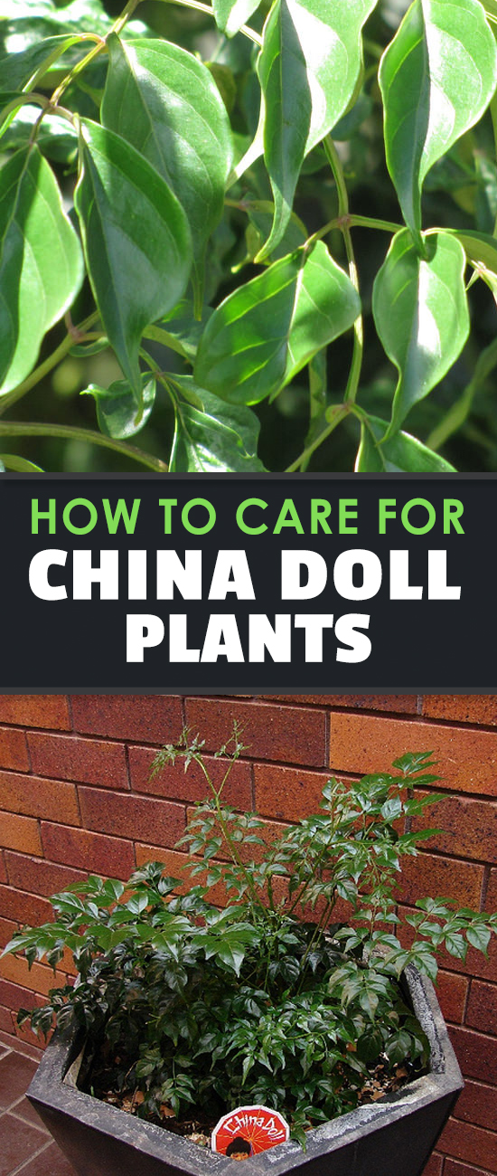 The china doll plant is a compact, popular houseplant for its dark green, oily foliage. Learn exactly how to grow and care for Radermachera Sinica here.