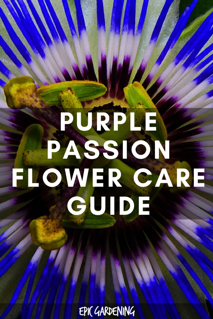 Passiflora Incarnata (Purple Passion Flower) Care