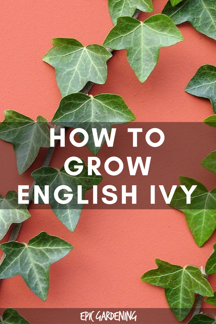 English Ivy Hedera Helix Care Guide