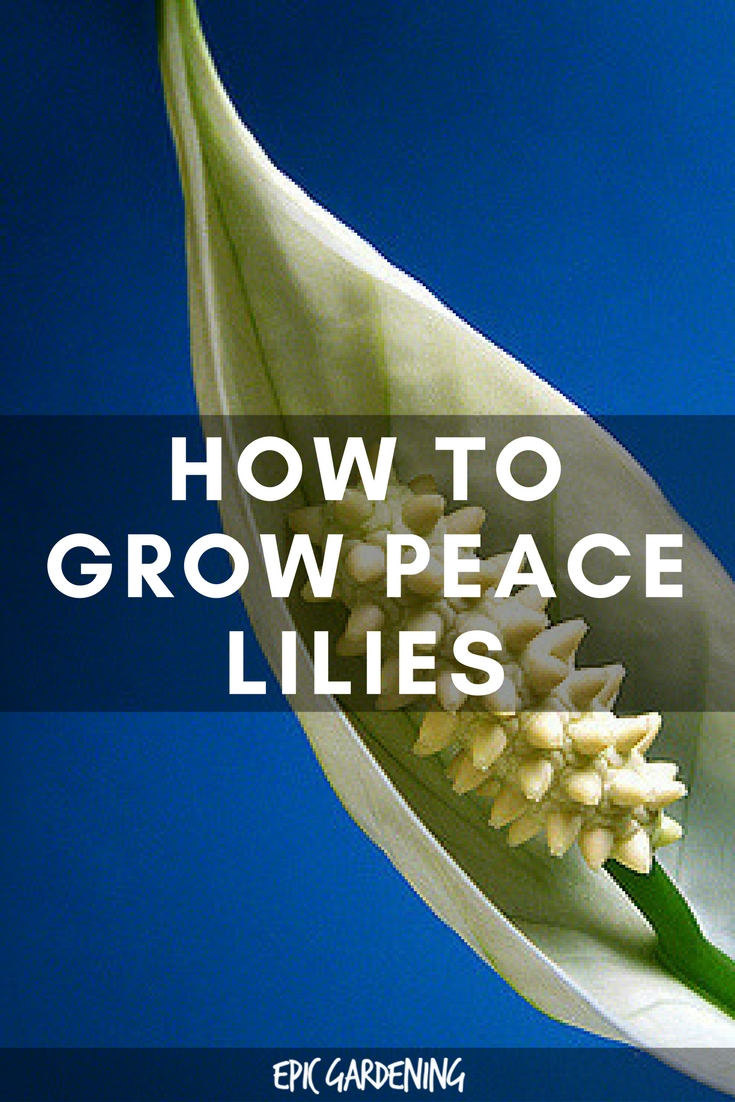 The peace lily filters out five dangerous toxins from the air peace lily care izmirmasajfo