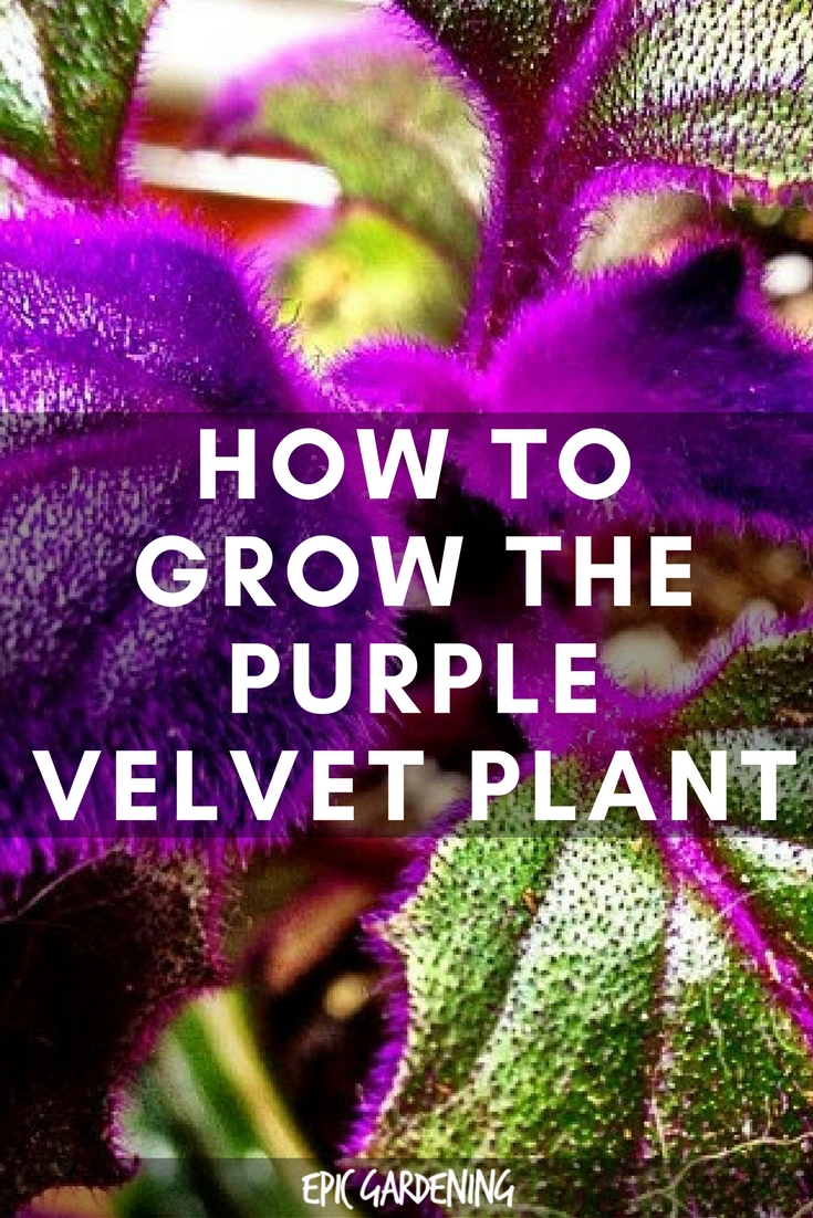 Purple Velvet Plant Gynura Aurantiaca Care Guide