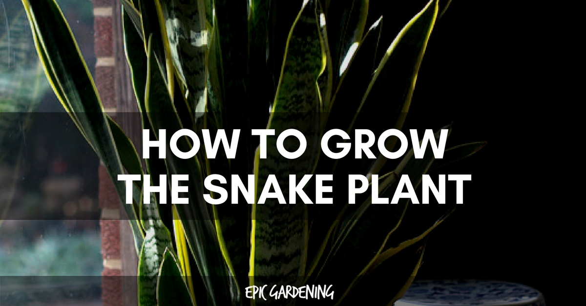 Snake plant care growing the mother in law s tongue for How to maintain garden plants