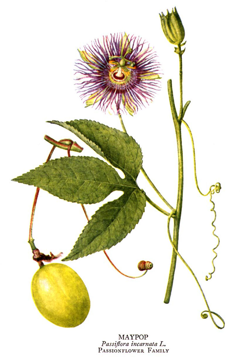 Purple Passion Flower Benefits