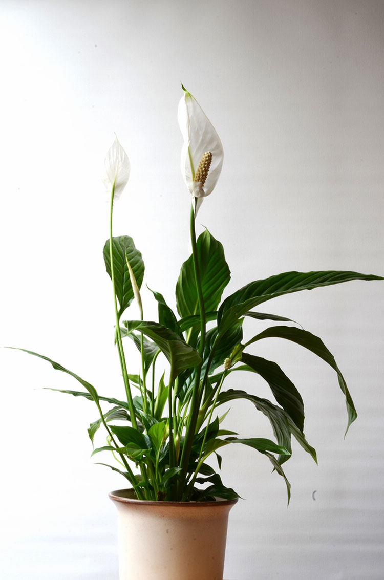 The peace lily filters out five dangerous toxins from the air q i heard i can grow peace lilies indoors under artificial lights is that true izmirmasajfo