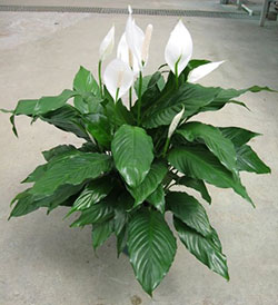 The Peace Lily filters out five dangerous toxins from the air ... on philodendron house plant poisonous, peace plant care guide, golden pothos house plant poisonous, rubber tree house plant poisonous, corn plant house plant poisonous, peace lily plant brown leaves, croton house plant poisonous, peace lily indoor plant,