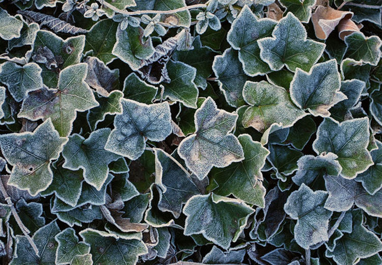 English Ivy (Hedera Helix) Care Guide