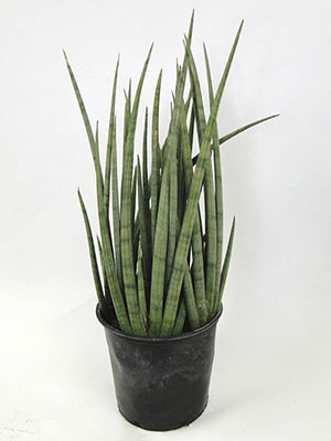 snake plant care growing the mother in law s tongue. Black Bedroom Furniture Sets. Home Design Ideas
