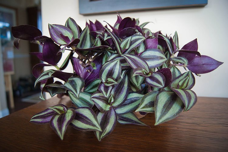 Wandering Jew Care