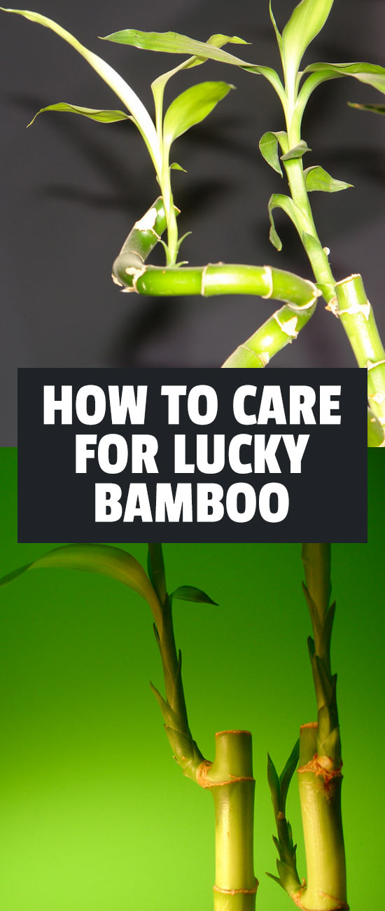 lucky bamboo care growing dracaena sanderiana. Black Bedroom Furniture Sets. Home Design Ideas